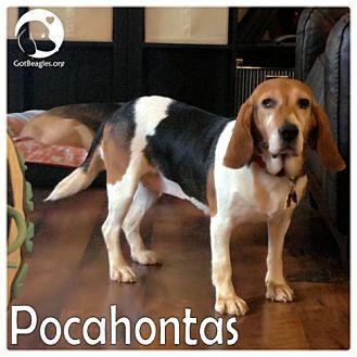 Beagle/Basset Hound Mix Dog for adoption in Novi, Michigan - Pocahontas