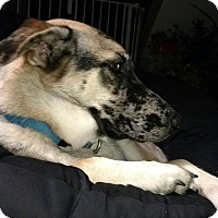 Adopt A Pet :: Daisy - Billerica, MA