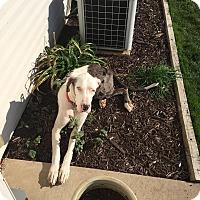 Adopt A Pet :: Goofus - Oswego, IL