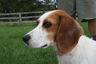 Beagle Mix Dog for adoption in Waldorf, Maryland - Lyla Garrett