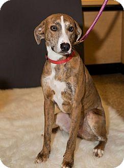 Hound (Unknown Type)/Labrador Retriever Mix Dog for adoption in Warrenton, Missouri - Buster