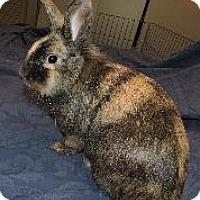 Adopt A Pet :: Harley Quinn - Woburn, MA