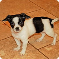 Adopt A Pet :: Jujube - Frederick, MD