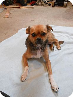 Chihuahua Mix Dog for adoption in Groton, Massachusetts - Penny