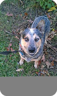 Australian Cattle Dog/Australian Shepherd Mix Dog for adoption in Conway, Arkansas - Finn