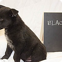 Adopt A Pet :: Blacky - Westminster, CO