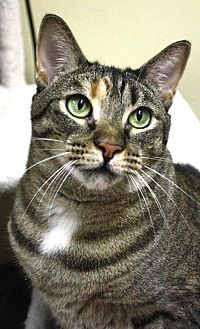 Domestic Shorthair Cat for adoption in New York, New York - Miley (Westhampton)