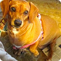 Adopt A Pet :: Coco - Pinellas Park, FL