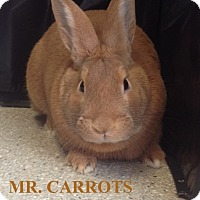 Adopt A Pet :: Mr. Carrots - Tiffin, OH
