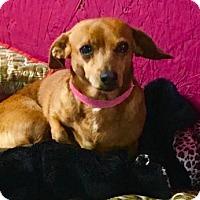 Adopt A Pet :: Tulip - York, SC
