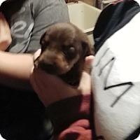 Adopt A Pet :: Dobie boy - springtown, TX