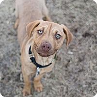 Adopt A Pet :: Daisy - Des Peres, MO