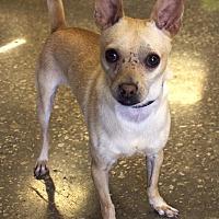 Chihuahua Dog for adoption in Frisco, Texas - Dixon