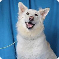 Adopt A Pet :: Sasha - Minneapolis, MN