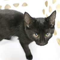 Adopt A Pet :: Scampi - Medina, OH