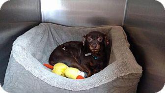 Dachshund Mix Dog for adoption in Seneca, South Carolina - Petey $125