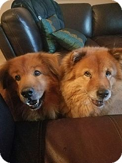 Chow Chow/Golden Retriever Mix Dog for adoption in Sacramento, California - Maggic