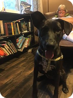 Labrador Retriever Mix Dog for adoption in Hillsboro, Missouri - Casey