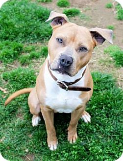 Pit Bull Terrier Mix Dog for adoption in Columbus, Ohio - Rush