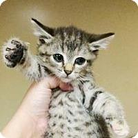 Domestic Shorthair Kitten for adoption in Lincolnton, North Carolina - James $20