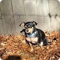 Adopt A Pet :: Gidget - Holland, OH