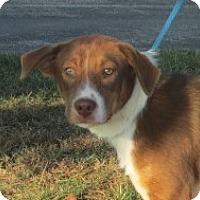 Adopt A Pet :: Maverick - Germantown, MD