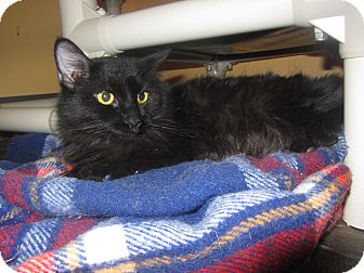 Domestic Longhair Cat for adoption in Ridgway, Colorado - Star