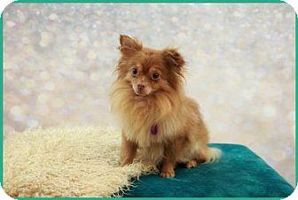 Pomeranian Dog for adoption in Dallas, Texas - Snoopy