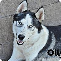 Adopt A Pet :: Olly - Carrollton, TX