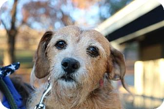 Terrier (Unknown Type, Small)/Dachshund Mix Dog for adoption in Yucaipa, California - Matilda
