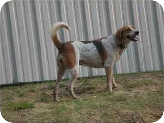 Bluetick Coonhound/Treeing Walker Coonhound Mix Dog for adoption in Franklin, Virginia - Tickle