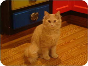 Domestic Longhair Cat for adoption in Muncie, Indiana - Simba--PETSMART