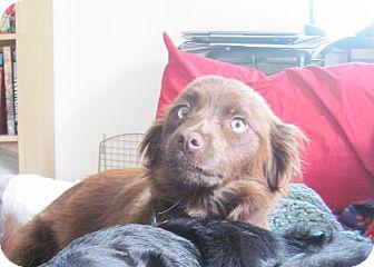 Australian Shepherd/Spaniel (Unknown Type) Mix Dog for adoption in Sacramento, California - Freya