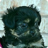 Adopt A Pet :: Sundance-Adoption pending - Bridgeton, MO