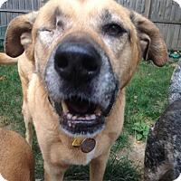 Shepherd (Unknown Type)/Labrador Retriever Mix Dog for adoption in Fishers, Indiana - Miz Mabel