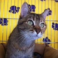 Domestic Shorthair Cat for adoption in Sacramento, California - Dinah M