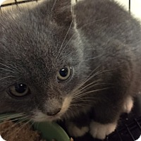 Adopt A Pet :: Toodles - Forest Hills, NY