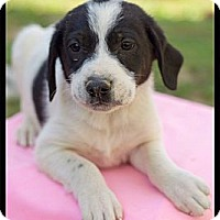 Adopt A Pet :: Basil (Reduced) - Harrisonburg, VA