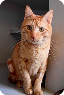 Domestic Shorthair Cat for adoption in Des Moines, Iowa - Chester
