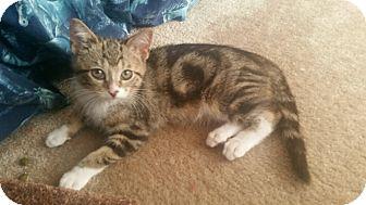 Domestic Shorthair Kitten for adoption in Huntley, Illinois - Spitfire