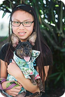 Chihuahua/Miniature Pinscher Mix Dog for adoption in Redondo Beach, California - Andre!