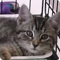 Domestic Shorthair Kitten for adoption in Columbus, Ohio - Sammie