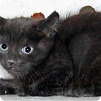 Domestic Shorthair Kitten for adoption in Wildomar, California - 314867