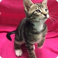 Domestic Shorthair Kitten for adoption in Orlando, Florida - Merlin