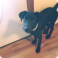 Adopt A Pet :: Olive - Springfield, MO