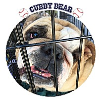 Adopt A Pet :: Cubby Bear - Park Ridge, IL