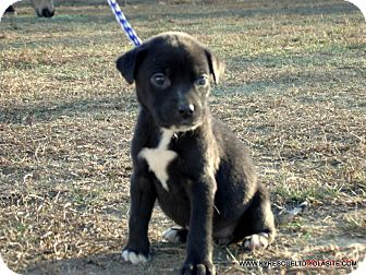 Border Collie/Labrador Retriever Mix Puppy for adoption in PRINCETON, Kentucky - LULU/ADOPTED
