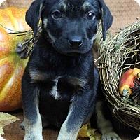 Adopt A Pet :: CARLSON - Westminster, CO