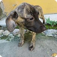 Adopt A Pet :: Chia - Calgary, AB