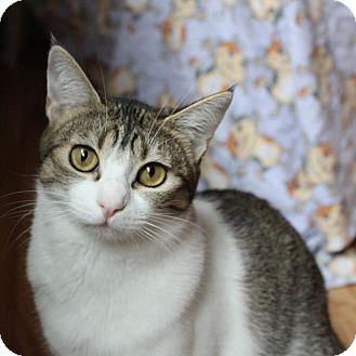 Domestic Shorthair Kitten for adoption in San Carlos, California - Ursa Major